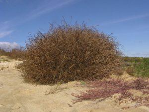 Произростание солянки холмовой