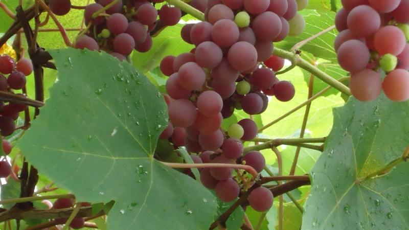 виноград лидия фото