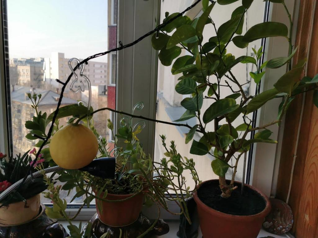 Выращивание лимона в квартире