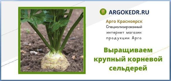 Выращиваем крупный корневой сельдерей