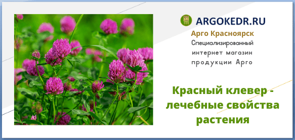 Красный клевер - лечебные свойства растения