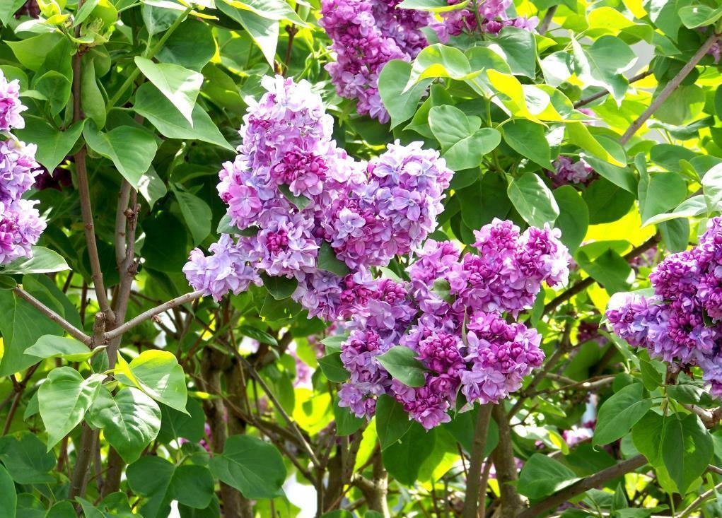 Сирень обыкновенная Syringa vulgaris