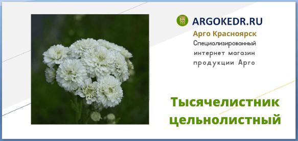 Тысячелистник цельнолистный (Achillea ptarmica)
